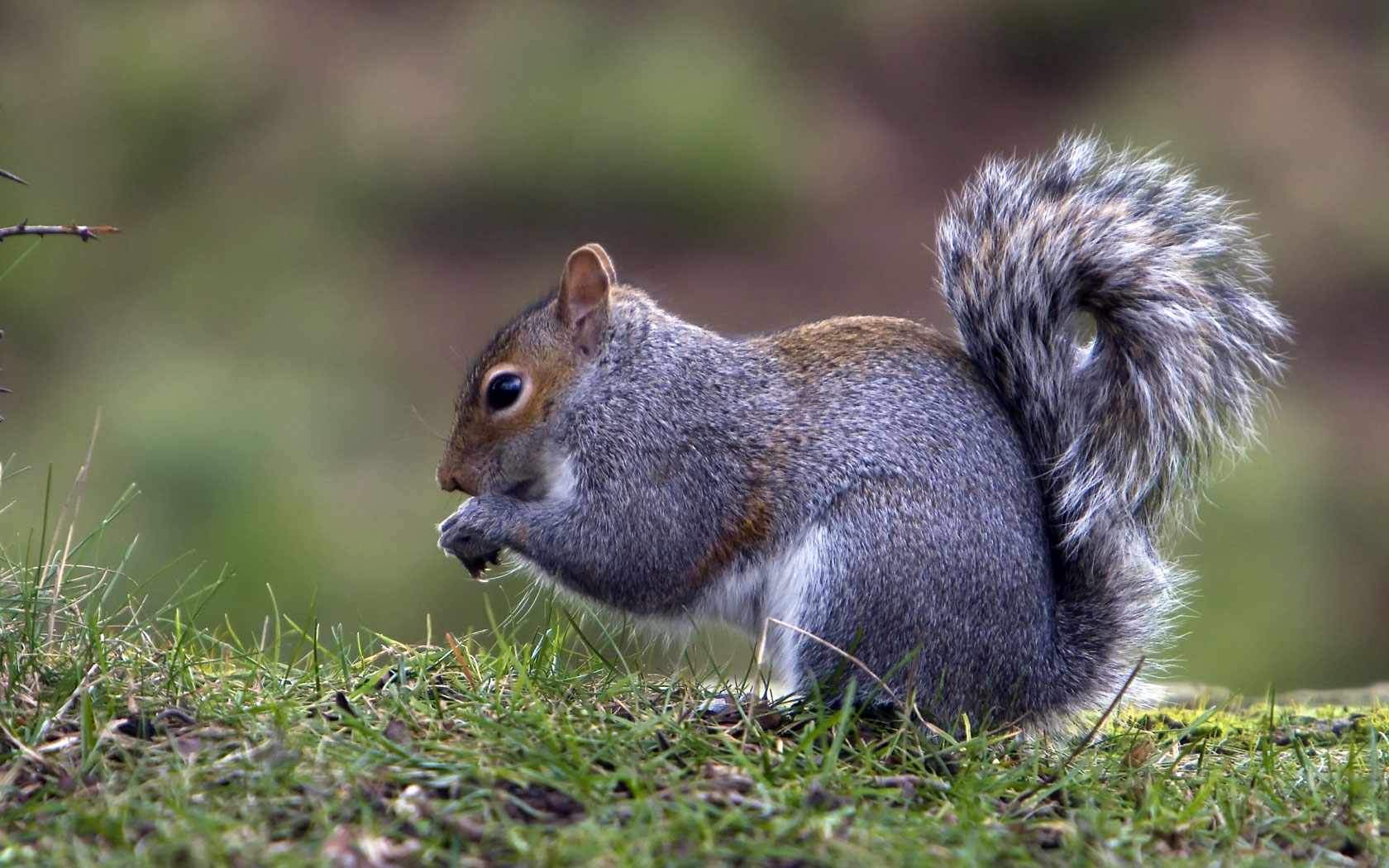 grey-squirrel-wallpaper-2