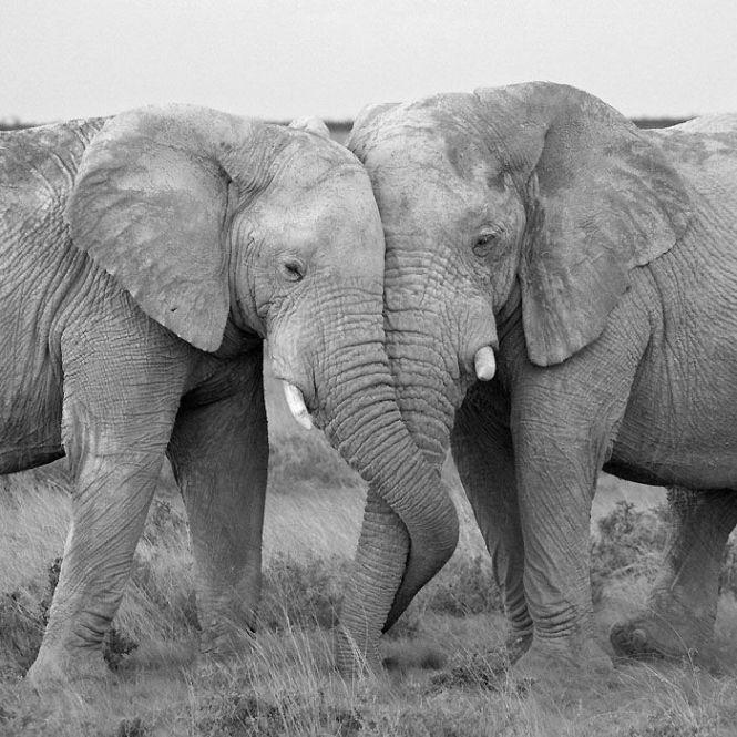 70bd249978615fb29183e6d2b6d38c18-gentle-giant-cutest-animals