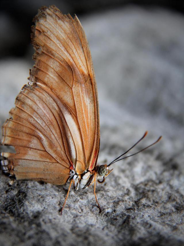 julia_butterfly__dryas_iulia__butterfly_by_kmourzenko_d89t50w-fullview