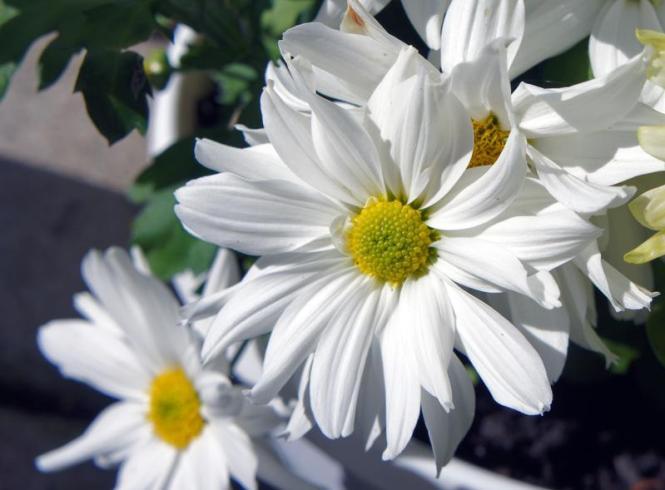 chrysanthemum___joyful_by_miss_gardener_d4h9lks-fullview