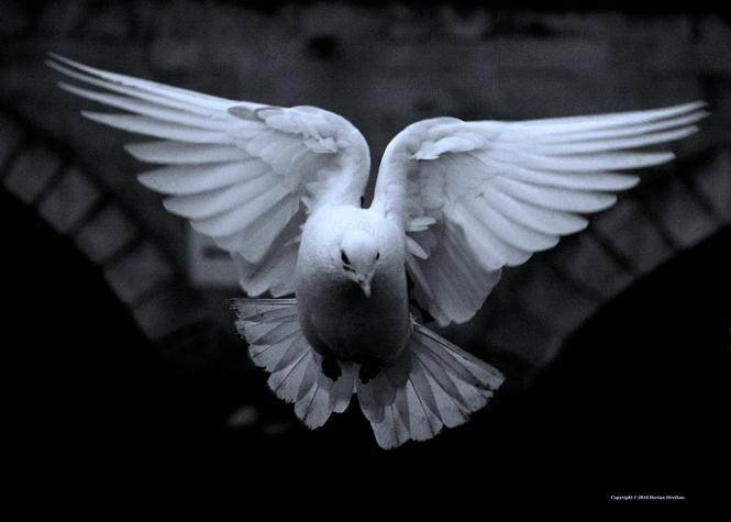 dove_by_dorianstretton_d2k2s09-fullview